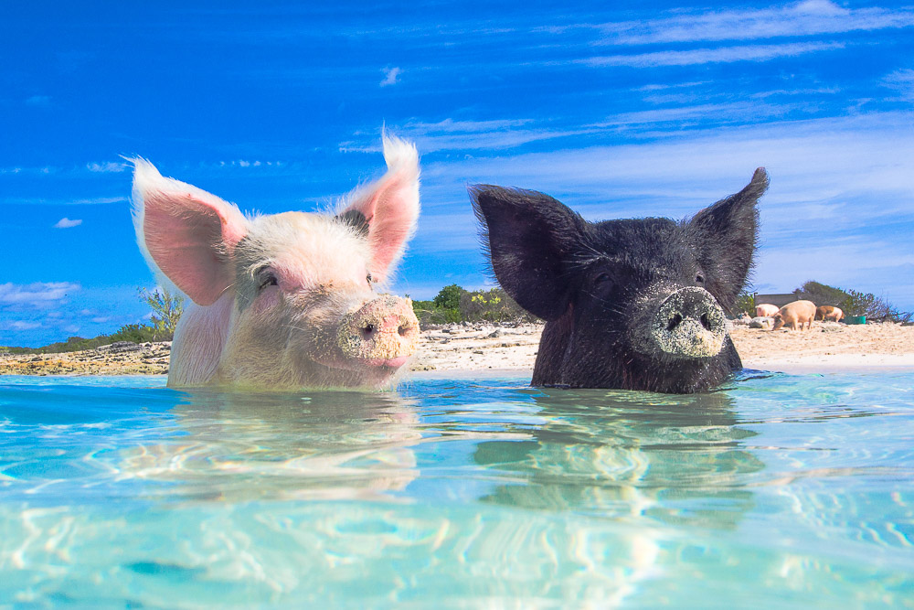 tandem_swimming_pigs