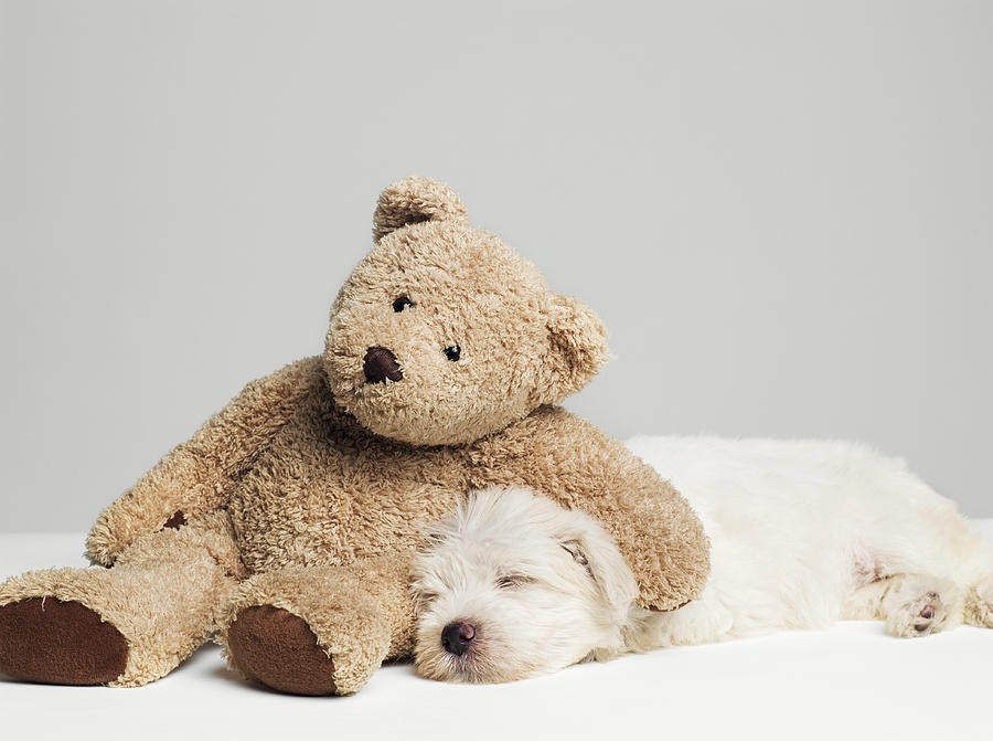 teddy_bear_resting_on_sleeping_west_highland_terrier_puppy_studio_shot_roger_wright